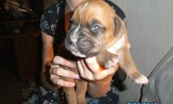 boxer pups akc reg for sale $575, taking deposits now call -- fawns and brindles parents on site dews and tails done