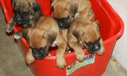 Have  Boxer pups. 8 weeks old. Ready for homes on 12/15/12. Born on 10/18/12. 4 males & 4 females. 1 brindle male & 7 Fawn. Pups have Tail docked, Declawed, Dewormed, & have first Vaccines. All pup care done by Fillmore Animal Hospital