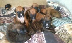 My boxers had litters less than 7 week and we now have 7 beautiful puppies ready to go to a good home. The Boxers are 7 weeks old. Pups have tails & claws done. We have 5 males and 2 females brindles and fawns. Please call Petar @ (702)324-7174.