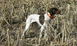 The Braque Francais is a versatile hunting breed.  Braques excel on upland game, are excellent trackers, and have an enthusiasm for water.  The short hair, compact size, and calm demeanor make them as perfectly suited for the home