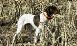 The Braque Francais is a versatile hunting breed. Braques excel on upland game, are excellent trackers, and have an enthusiasm for water. The short hair, compact size, and calm demeanor make them as perfectly suited for the home as they are for the field.