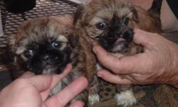 I have 2 female Shih Tzu females left. They are 2 and 3 years old and produce awesome babies. The picture is one of the litters we had this year. call for more info 850-573-0906 or e-mail me
