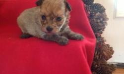 Sophie is a brindle female Yorkiepoo. She was born November 12, 2012. Mom is a toy poodle and dad is a yorkie. CKC registered with a written health guarantee. Up to date on shots and dewormed. Parents on premises for you to