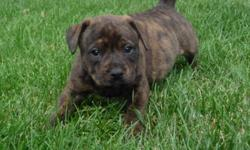 I have 2 females and 2 males left. Both males are pure brindle. Both females have white on their chest, paws, and chin. They have such great personalities. Looking for a great family to be loyal to. Puppies will go home with I.O.E.B.A. papers, shots and