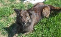 Tucker (Brindle Shepherd/Chow) is a wonderful dog! We have recently moved and no longer have a yard sufficient for him. In his best interests, we want a home that will take the best care of him. Please no apartment-dwellers. Must be able to accomodate