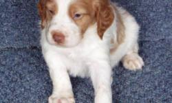 """I have Brittany's ; English and Llewellin Setters. You can see pictures of my Puppies at www.londereekennels.com Then """"click"""" New Litter for puppies. All my dogs are Registered with the American Kennel Club and The American Field."""