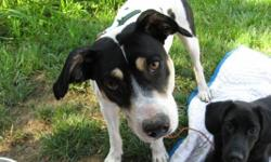 """Bubba, or other wise known as Thurston, is a mid-size 3 year mix of Jack Russell/Staffordshire Bull Terrior. He is 38lbs.,28"""" long, (Rump to muzzle), 18"""" tall (crest to toes); neutered, vaccinated, and full of energy for some young 10"""