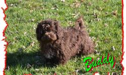 Buddy Chocolate male Shihpoo Meet Buddy. He just can't wait to be your little Buddy. He is a Rare Chocolate Shihpoo. He is one of the Designer Breeds between a Shihtzu and Poodle. Buddy is very smart and sheds very little as with all Shihpoos. He