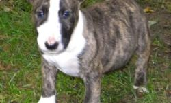 family raised bull terrier pup NAMED BUDDY 6 months old from champion bloodline crate trained good with other animals and children CALL SHERYL (810) 735-1135 OR (810)730-6616