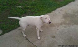 male bull terrier AKC papers and he is four years old. he is all white. female 4 years old with paper ACA also all white. 750 a breeding pair or 450 dollars each. they need a ower that has no pets they do good as a pair or by themselfs. if you buy them as