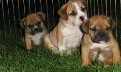 3/4 English Bulldog 1/4 lab Bullador Puppies--ready now!  Vet checked current on shots and wormings. www.wentworthbulladors.com --