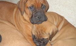 Big Beautiful Bullmastiff puppies. 9 weeks old - They have had their first set of shots/worming. Red with black mask. Champion lines!! email kcarey@sacsheriff.com or call (561) 688-3695