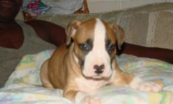 I have a bully breed puppy needs good home hes 8 weeks old had first shots. bought him as my own pet hoped to keep him but can't due to manger? He is full blooded i paid $150.00 asking a re-homing fee off $100.00 obo? if interested please call