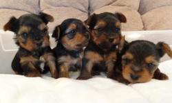 I have 4 c.k.c. male yorkshire terrier puppies for sale for $500.00.   They were born 11-16-2012, and will be ready to go to their new home after the new year. A $100.00 deposit will hold one until it is ready to go.  They will have their