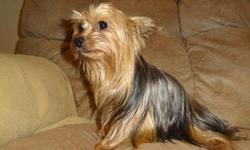C.K.C. babydoll face yorkshire terrier male puppies born11-16-2012 for sale for $500.00 each. They have short square bodies, lots of hair, tails docked, dewclaws removed, have been wormed, and first shots. They aren't quite ready