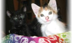 Calico and Tortoise-shell Kittens with Green eyes - Very Sweet and playful babies. They are ready for their forever homes. We are asking $25 we have one girl and one boy left, they come with their first shots and health guaranteed. If you would like to