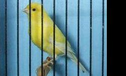 We raise American Singers, Hartz and Colorbred Lipochromes. We now have singers and canary hensavailable see our website at: http://manekesbirdhouse.synthasite.com/for more information and pricing.  Please email us directly we do not