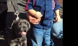 cane corso the ultimate protector, great with kid very loyal , pups due 5-9-11 sire is blue brindle and dame blue should be an out standing litter for mor info call (978)390-8220 or vist face book colon's cane corso