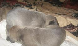 Cane Corso Mastiff pups. Born November 22.  5 female & 5 male.  Blues, blindles, black and fawn colors.  ready for pick up January 3, 2013  will have 6 week shots.  accepting hold payment now.  Both parents are here for