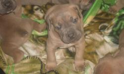 Champion Sired Cane Corso Puppies For Sale! 8 pups in all. 4 left to choose from. 1 male and 3 female. Born 11-8-2012. Outstanding Bloodlines! Sire is 2x best in show.  Excellent Temperments. Born and raised in our home with TLC with our