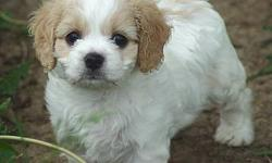 Very sweet and playful cavalier king charles spaniel and bichon frise mix pups, a.k.a Cavachon. They are 8 weeks old, they have had their first shots and all worming and they come with a written health guarantee. I have one boy and one girl available,