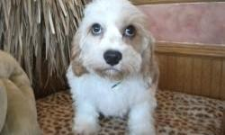 Cavachons make great family pets. They enjoy accompanying their family on in whatever they are doing. Cavachons have a very low shedding coat which makes them a great choice for allergy sufferers. Cavachons are relatively easy to train with gentle and