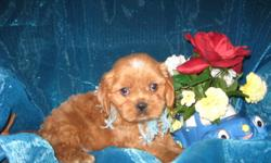 1 Male and 1 Female Cavachon (Cavalier King Charles/Bichon) born on 4-2-11. UTD on shots and comes with a health warranty. For More Info Call/Text: 262-994-3007 ** Credit Cards Accepted (Visa/MasterCard) ** Financing Available **