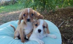 These designers puppies have CKC reg. papers they are about 12 weeks old they were born on July 16th of 2010. 2 are a ruby color & 1-female has a short coat, & is a red & white color.females are $350.& males are $250.cash. We also have half Cavalier &