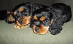 Two Cavalier King Charles male puppies born August 2012. They are black and tan. They have had all shots, wormed, dew claws removed, and regular vet checks. They have been raised in the house around kids. They are crate trained and well started on