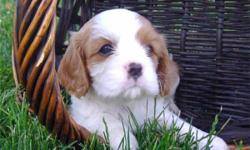 Healthy Adorable Cavalier King Charles Spaniel Puppies available and they are ready for any new home.. they are looking for someone who is willing and able to take very good care of them , show them lots of love and attention. They are 1 male and 1 female