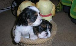 I have 3 Cavalier King Charles Spaniel puppies for sale. I have1Tricolor Male and 1 Tricolor female. I also have a male Blenheim. They were born on November 5th. They are adorable and cute and need a good home. Mother and father live on premises. Open