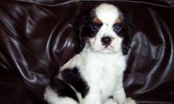 1 Male Cavalier King Charles Spaniel born on 4-18-11. UTD on shots and comes with a health warranty. For More Info Call/Text: 262-994-3007 ** Credit Cards Accepted (Visa/MasterCard) ** Financing Available ** Shipping Available **