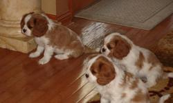 Adorable Blenheim pups! AKC, all health exams on parents including heart, hips and eyes! Champion bloodlines, 1st shots 9 weeks old! $1600. 262-697-9896, 262-818-2009.