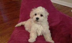 12 week old Cavatese (Maltese and King Charles Cavalier mix) puppy for sale. Very cute puppy that loves to be around people.He is a cream colorand will be around 10lbs. when full grown and currently he weighs 4.5lbs. The puppy