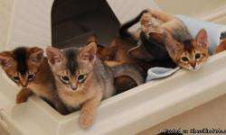 I had a litter of 5 abbys on the 12/1/2010 and at present I have three left. Without a doublt the Abyssinian is THE most brilliant cat and far funnier than most people. They are remarkably sweet, affectionate, well-behaved playful and down-right