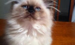 Adorable 10 Wk Old CFA Certified Persian/Himalayan Kittens For SALE. 2 Girls and 1 Boy. Well Socialized and Fun Loving Kittens. Dad is Sable Colored. And Mom Is Chocolate Colored. Right Now the Babies Are Chocolate Pointed. But They Could Get Darker.