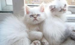 HIMALAYAN PERSIAN KITTENS - PRICE LOWERED TO $350-$400 - SALE!!! FLAME POINT MALE AND 2 FEMALE MULTI-COLOR BLUE/FLAME KITTENS. CFA 12 WEEKS, BIG BLUE EYES, FAMILY RAISED, PLAYFUL! THEY ARE SO FUN TO WATCH. YOU SHOULD HAVE AT LEAST TWO, THEY ENTERTAIN YOU