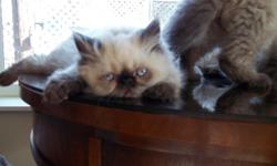 2 Cute seal point Himalayan / Persian kittens left 1 female with a doll face and 1 male with a flat face they are 11 weeks old born 3-10-11 cfa registered up to date on shots kittens are healthy with vet report $200 each Breeding right will be extra we