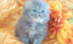 Extreme Flat Face Blue Male ,Flame Lynx Point 2 Male ,1 Female white with blue eyed ,PKD DNA negative ,excelent pedigree In September will be available gorgeous red persian kittens Call 704-771 8860 Visit my website for more info www.