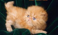 Excellent Pedigree .Parents PKD DNA Neg. Will ready in November- Dec for loving pet home Contact 704-771 8860