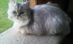 Persian kitten she will be one on June 29th 2011. She loves to play, she has a health guarantee, she will come with a written contract. She has not been registered however she can come with CFA Registration. For additional information please email me.
