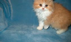 CFA Registered Persian BiColor Kittens. 8 weeks old. I have Red/White and Cream/White. $400, ready now 256-740-8224