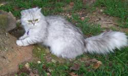 Harlow is a Solid White Doll Face Persian, 2 1/2 yrs old, Copper eyes, has had 3 litters of beautiful kittens, Great mother, loves being around kids and other cats....She is CFA Reg. with Pedigree, Asking $500 Pet Price or $600 with Breeding