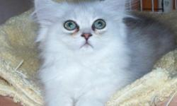 Female Persian kitten, up to date on shots, she is use to baths, and she is is 11 weeks old. She loves to play, comes with a written contract, and comes with written health guarantee. If interested please email me. Please if there are questions please
