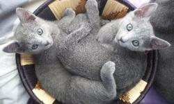 We love the Russian Blue breed and our family is dedicated to raising healthy, quality, & loving pets so that others can experience the quiet and affectionate devotion of the Russian Blue. This breed is ideal for those who lead a quiet, subtle, calm