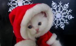 CFA PERSIAN.White fun/friendly male ready for his new home.Just in time for christmas.Can hold till christmas if you like.So far baby has recieved first shot and worming,he will go home w/the foods he's used to.He gets a lot of attention and is spoiled