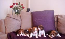 Beautiful 6 week old puppies for sale (1 boy and 2 girls left). Champion Pedigree on both sides, related to Uno, AKC registered, and De-wormed.
