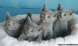 Hypoallergenic russian blue kittens ready for new homes. Home raised underfoot with dogs and socialized with our kids and grand kids from day one. Fantastic personalities, lots of fun and will make great companions. Our goal is to produce well socialized