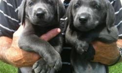 Currently we have Charcoal Lab Puppies available. They are 7weeks old and ready for their new homes. These puppies are big, blocky, and beautiful! If your looking for a top notch puppy with a unique color, these are the dogs for you. All puppies are