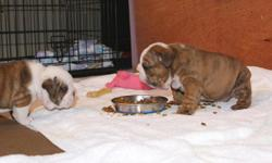 Cute and adorable English Bulldog puppies ready for a loving and caring home,contact for more information.